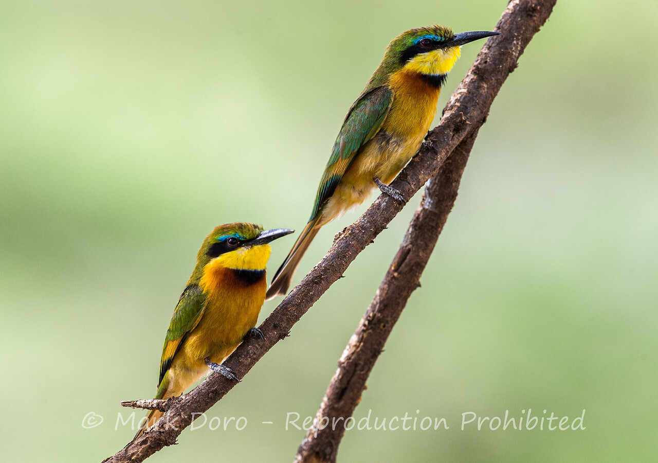 Little Bee-eater, Lake Manyara, Tanzania