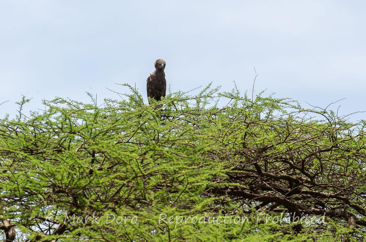 Brown Snake Eagle, Lake Manyara, Tanzania