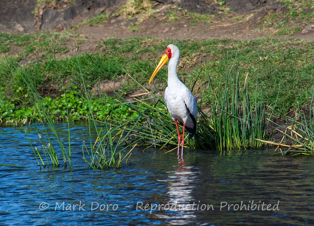 Yellow-billed Stork, Ngorongoro Crater, Tanzania