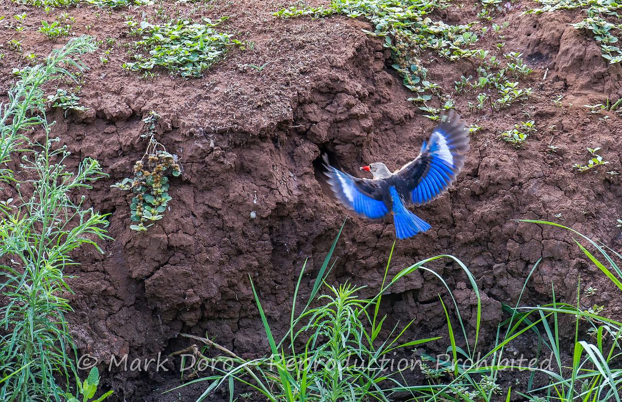 Grey-headed Kingfisher taking food to the nest, Lake Manyara, Tanzania