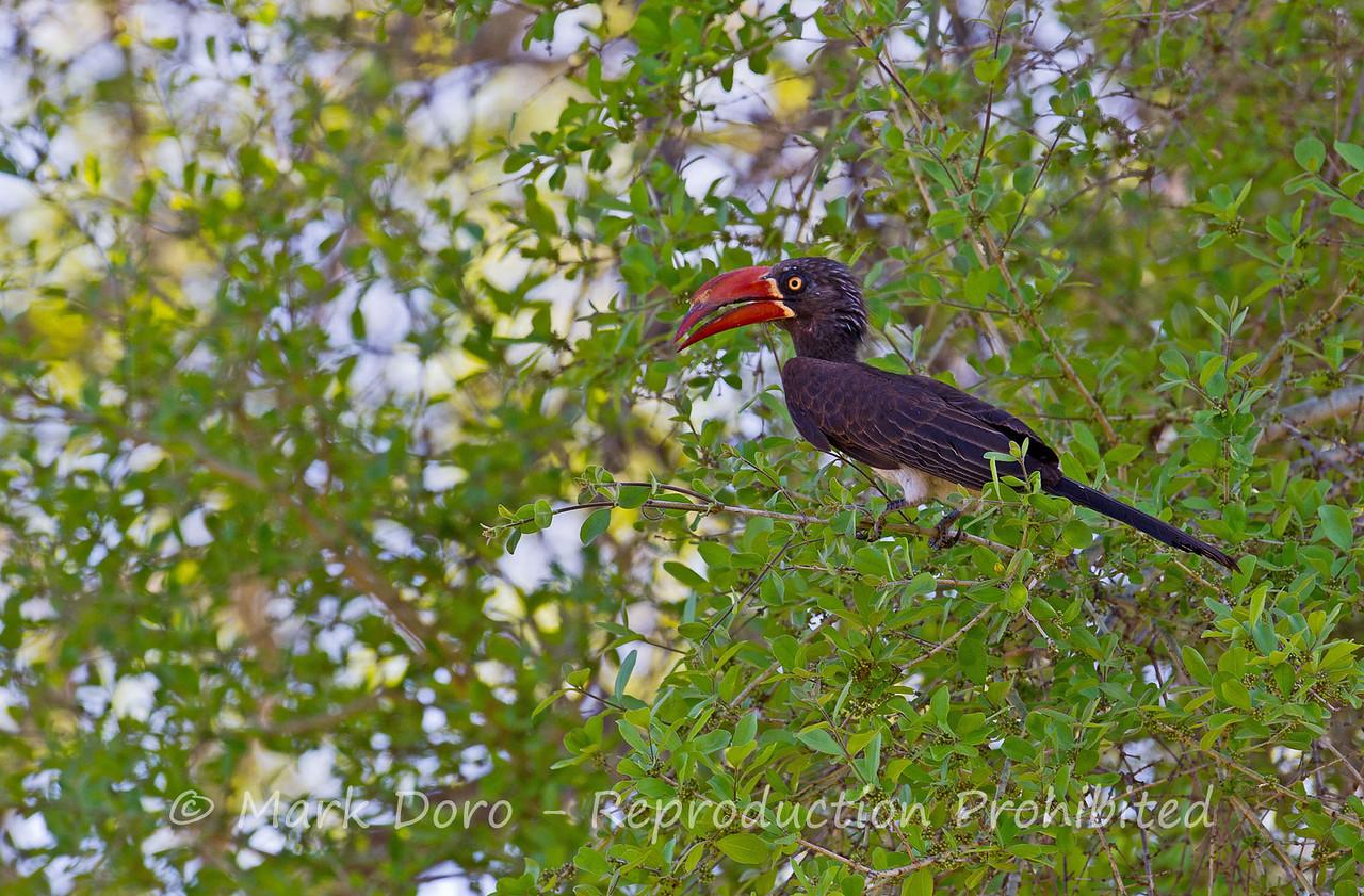 Crowned Hornbill, Selous, Tanzania