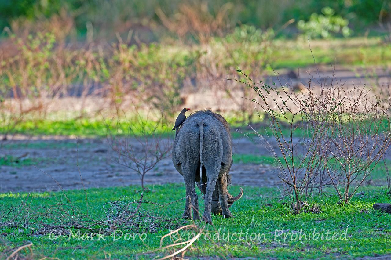 Warthog, Selous, Tanzania