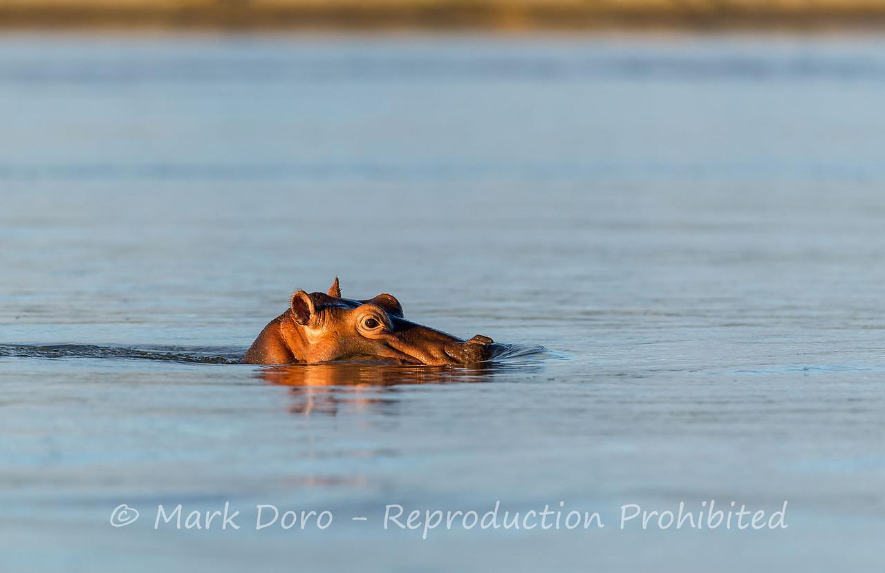 Hippopotomus, Rufiji River, Selous, Tanzania