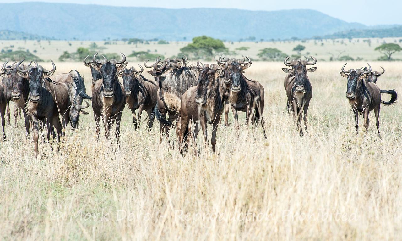 Wildebeest, Serengeti, Tanzania