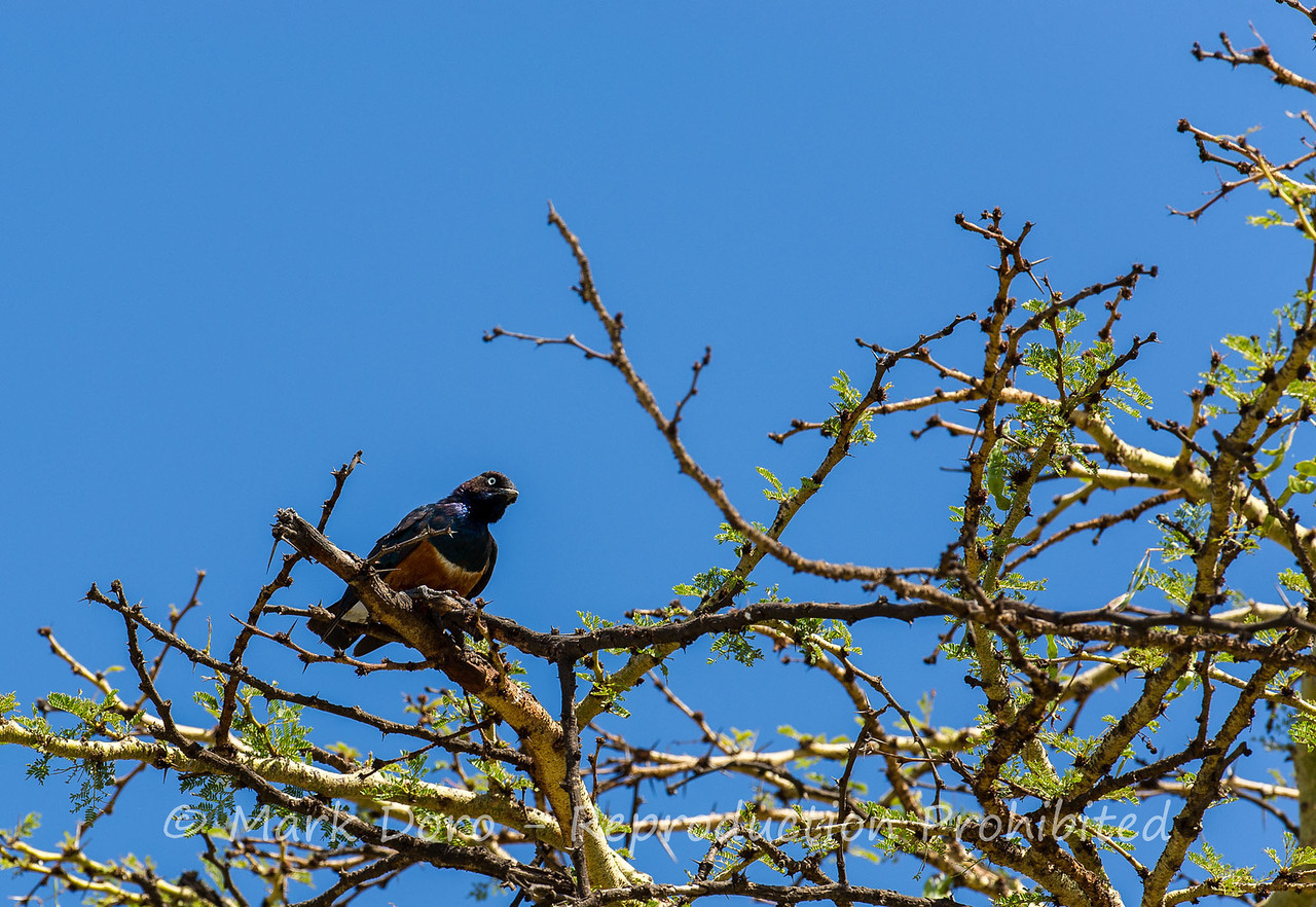 Superb Starling, Serengeti, Tanzania
