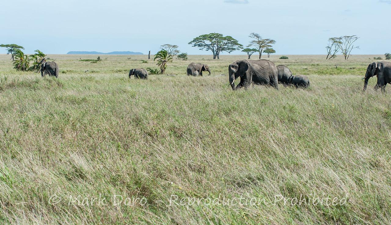 African Elephant, Serengeti, Tanzania