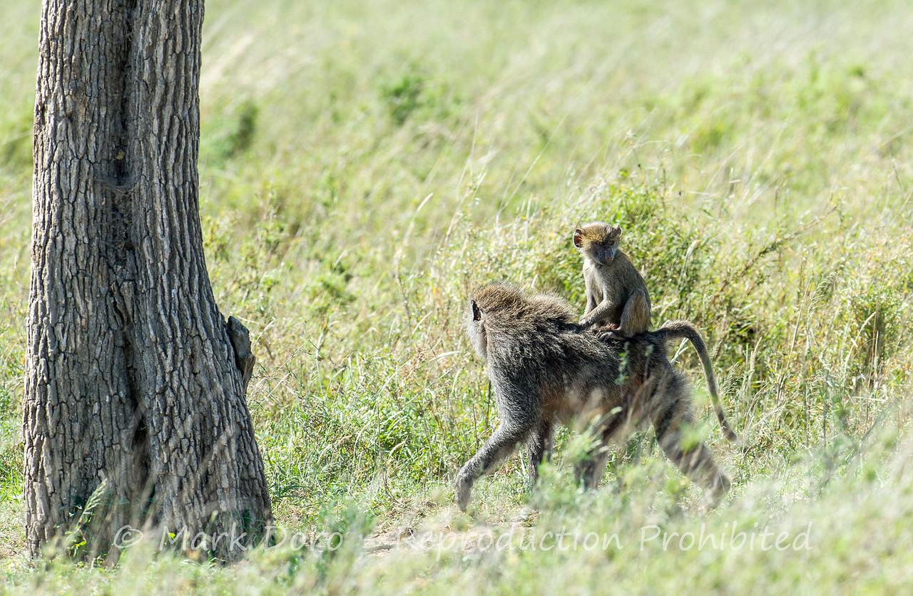 Olive Baboon, Serengeti, Tanzania