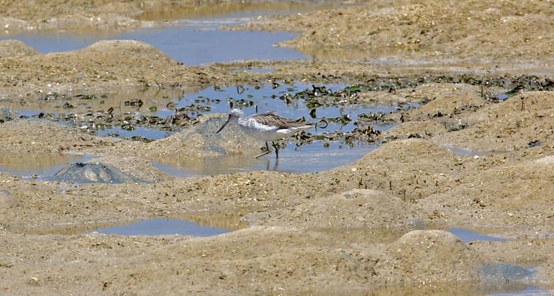 Common Greenshank<br /> <br /> Tanzania