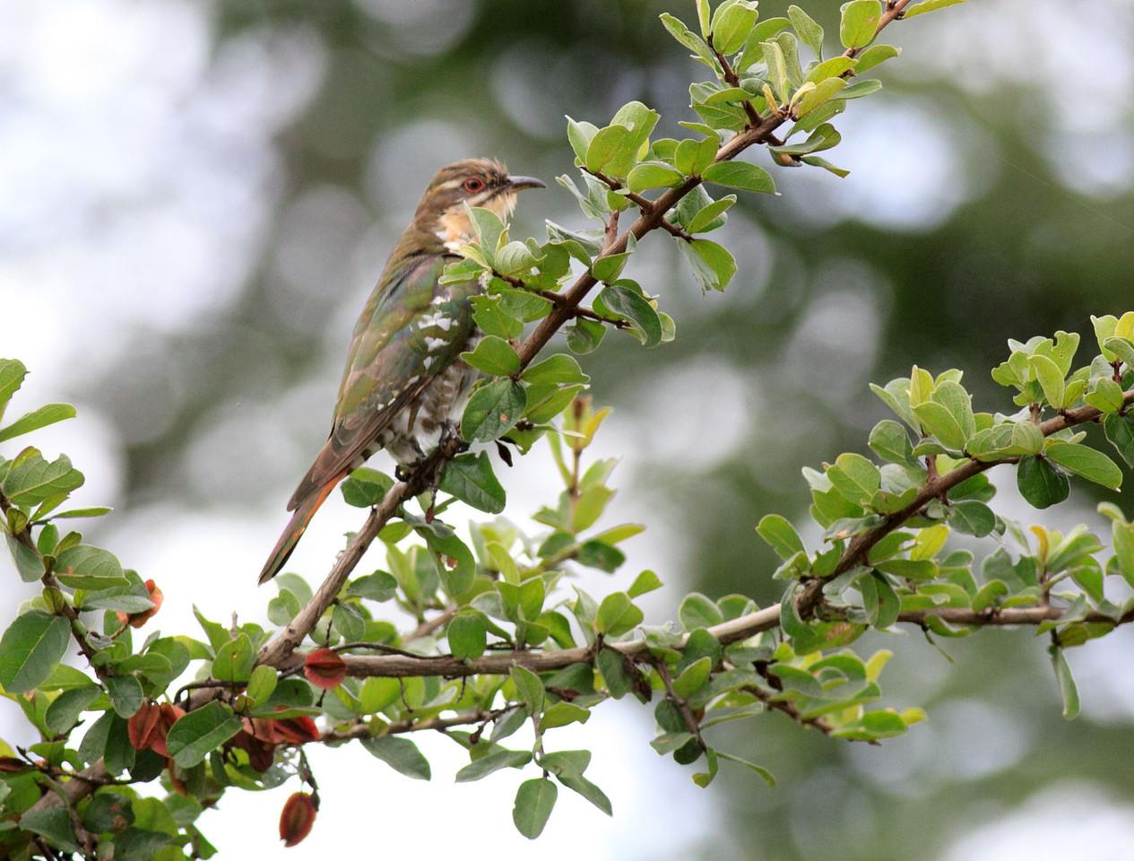 Diederik Cuckoo<br /> <br /> Tanzania