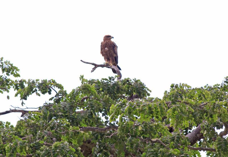 Tawny Eagle<br /> <br /> Tanzania