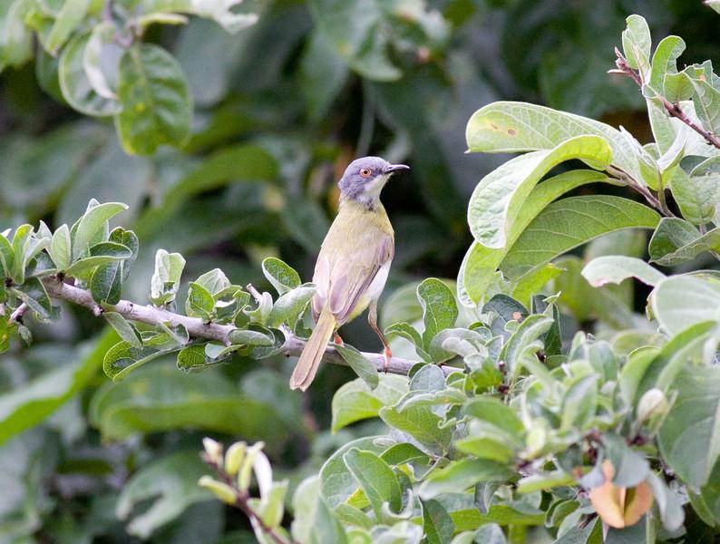 Yellow-breasted Apalis<br />  <br /> Tanzania