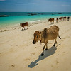 Beautiful beaches with...cows??