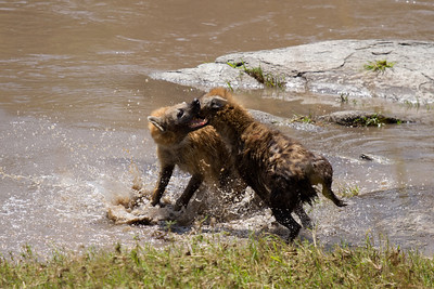 Hyena fight