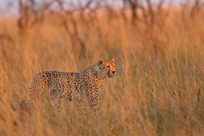 Cheetah hunting at dawn