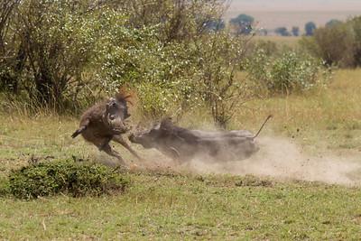 Warthog fight