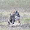 Common Jackal chasing a Spotted Hyena away from his den.