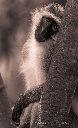 Vervet Monkey, Lake Manyara, Tanzania
