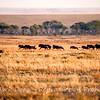 Hyena hunting wildebeest, Serengeti, Tanzania