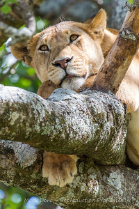 Female Lion in a tree, Serengeti, Tanzania
