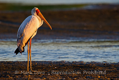 Yellow-billed Stork, Selous, Tanzania