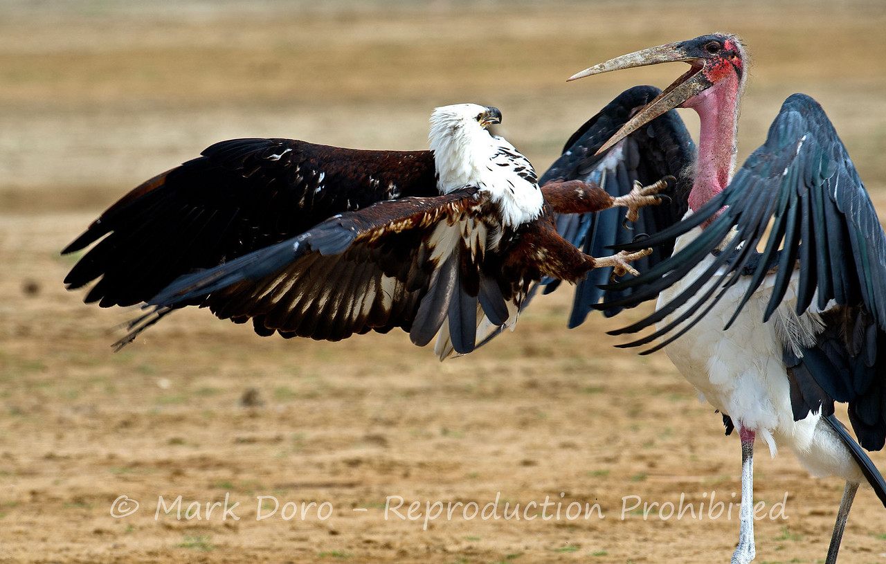 Marabou Stork and an African Fish Eagle fighting over a Catfish head, Selous, Tanzania