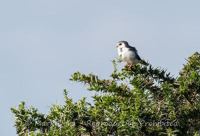Pygmy Falcon, Serengeti, Tanzania