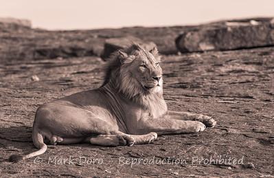 Male Lion, Serengeti, Tanzania