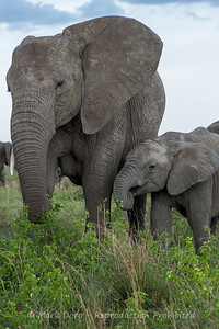 African Elephant and calf, Serengeti, Tanzania