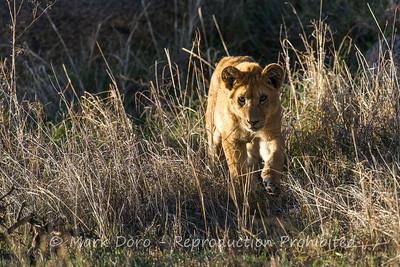 Lion cub, Serengeti, Tanzania
