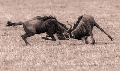 Wildebeest fighting, Ngorongoro Crater, Tanzania