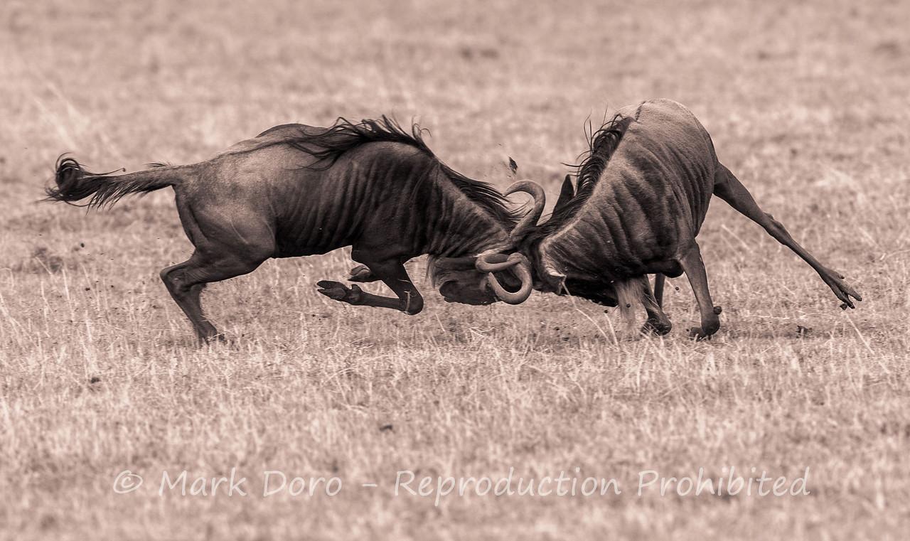 Wildebeest fighting, Ngorongoro Crater, Tanzania