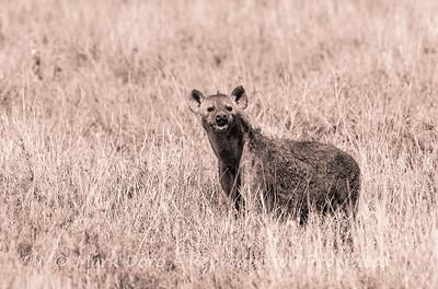 Spotted Hyena, Serengeti, Tanzania