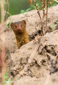 Pygmy Mongoose, Lake Manyara, Tanzania
