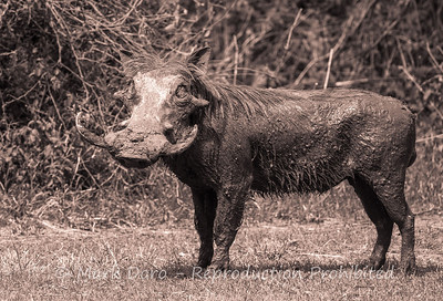 Warthog, fresh from a mud bath, Lake Manyara, Tanzania