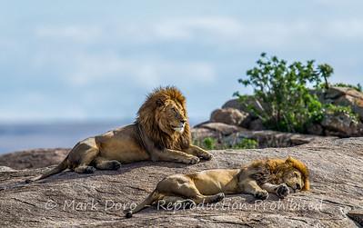 Male Lions, Serengeti, Tanzania