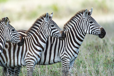 Burchell's Zebra, Serengeti, Tanzania