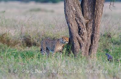 Cheetah, Serengeti, Tanzania