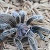 Tarantula in the wild