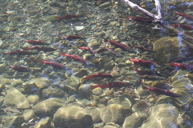The Kokanee salmon, introduced into Lake Tahoe in 1949, have no<br /> access to the ocean, but they spawn in the creek in the Fall.