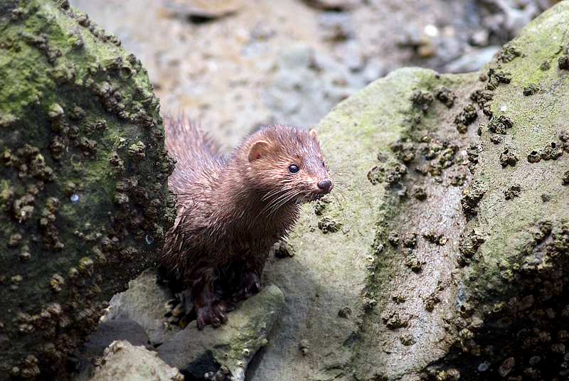 wild mink - Telegraph Cove, British Columbia