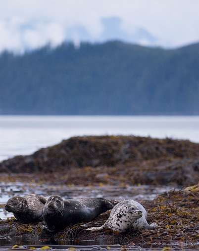 harbour seals  - Telegraph Cove, British Columbia