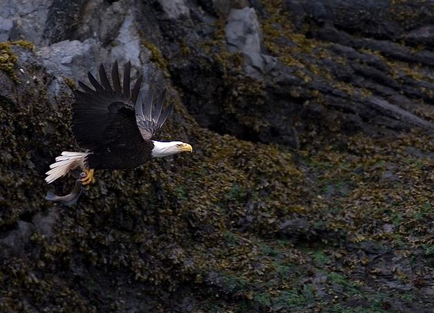 A bald eagle in flight -