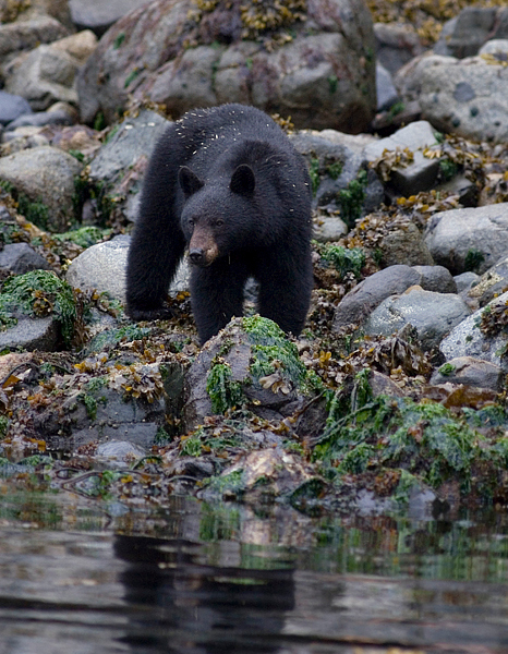 A black bear mother and her two small baby cubs  - Telegraph Cove, British Columbia