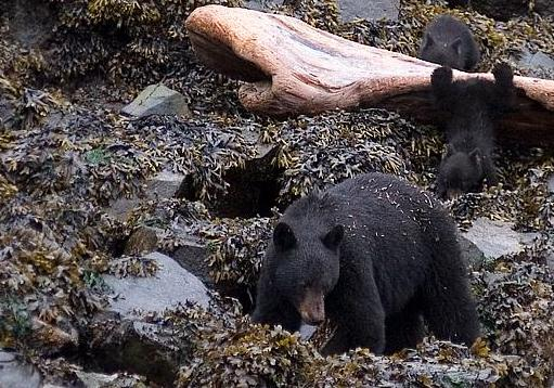 A black bear mother and her two small baby cubs