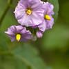 Purple Nightshade