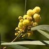 Everblooming Acacia
