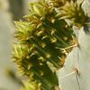 Cactus Apple (Opuntia engelmannii)