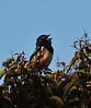 early morning blackbird singing