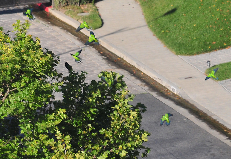 "Flock of parrots! I took this photo with my 80-400mm lens from maybe 1/4 mile away? Luckily I had good light. this shot is heavily cropped. the flock was about 20 birds, and noisy. we were high up on a hill looking down when I heard the flock, and then ""spotted "" it over some trees"