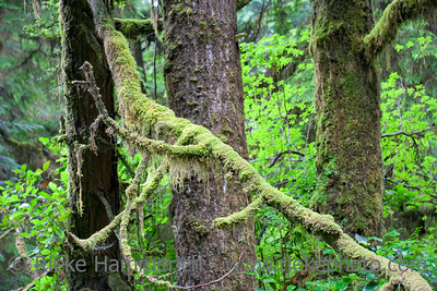 Fallen Tree with Moss and Lichen in temperate Rainforest - Pacific Rim National Park, Vancouver Island, British Columbia, Canada
